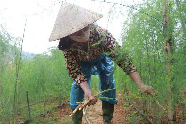 Bỏ công ty riêng về trồng măng tây, thu đều 2 tỷ vào túi-6