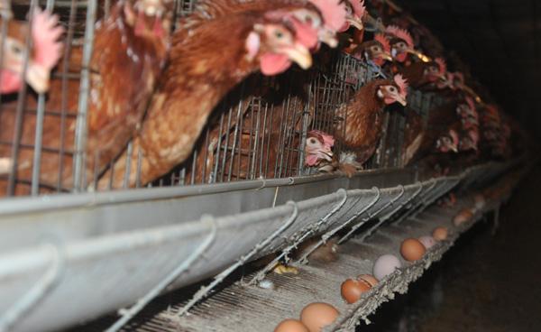 Nuôi gà siêu trứng kiểu ấm đông, mát hè kiếm trăm triệu mỗi năm-3