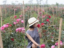 Ngắm khu vườn hoa hồng đẹp ngất ngây đã giúp cô gái thoát khỏi bệnh trầm cảm ở Hà Nội
