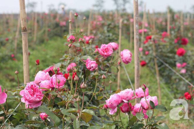 Ngắm khu vườn hoa hồng đẹp ngất ngây đã giúp cô gái thoát khỏi bệnh trầm cảm ở Hà Nội-3