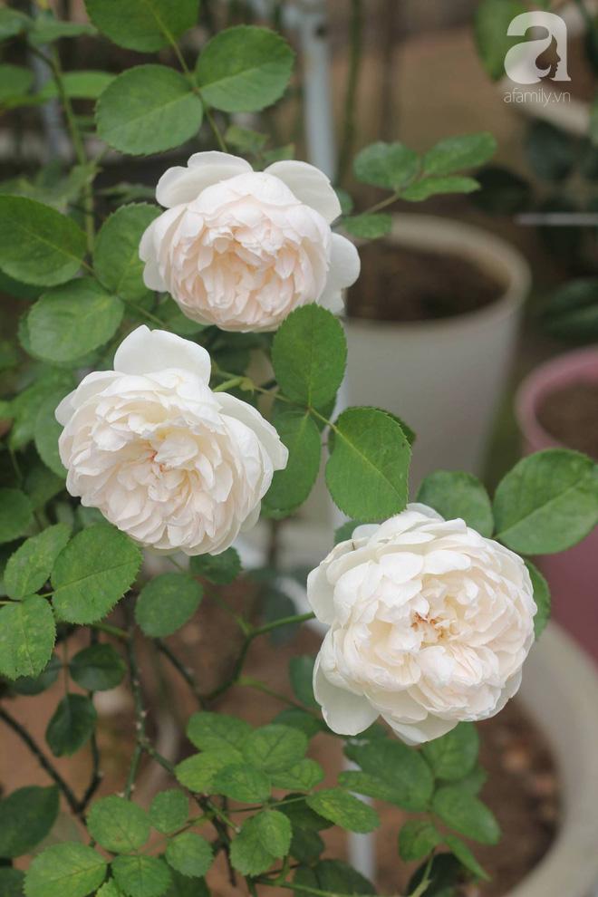 Ngắm khu vườn hoa hồng đẹp ngất ngây đã giúp cô gái thoát khỏi bệnh trầm cảm ở Hà Nội-4