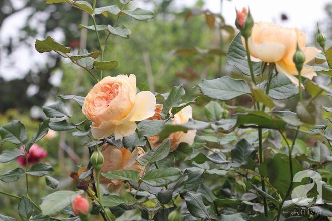 Ngắm khu vườn hoa hồng đẹp ngất ngây đã giúp cô gái thoát khỏi bệnh trầm cảm ở Hà Nội-6