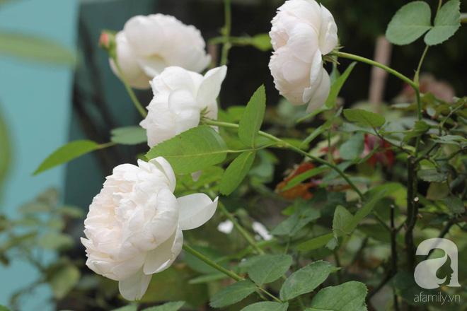 Ngắm khu vườn hoa hồng đẹp ngất ngây đã giúp cô gái thoát khỏi bệnh trầm cảm ở Hà Nội-8