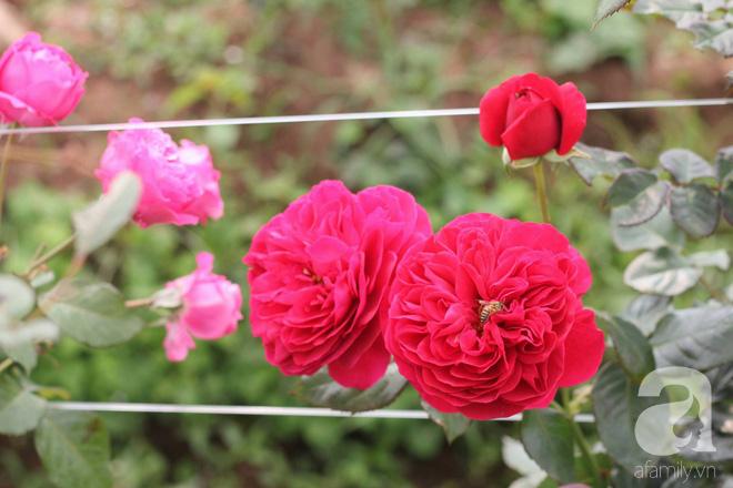 Ngắm khu vườn hoa hồng đẹp ngất ngây đã giúp cô gái thoát khỏi bệnh trầm cảm ở Hà Nội-10