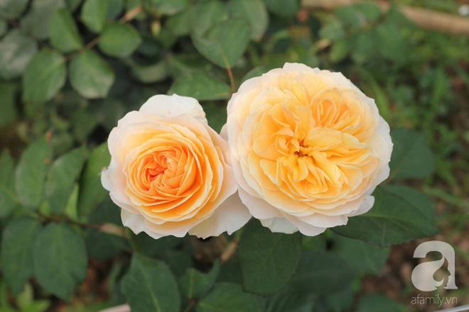 Ngắm khu vườn hoa hồng đẹp ngất ngây đã giúp cô gái thoát khỏi bệnh trầm cảm ở Hà Nội-11