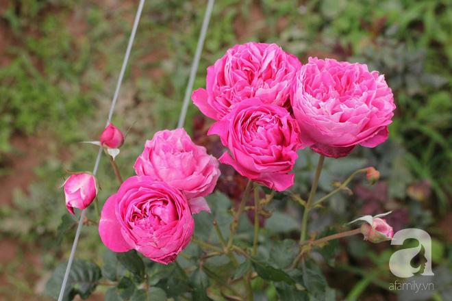 Ngắm khu vườn hoa hồng đẹp ngất ngây đã giúp cô gái thoát khỏi bệnh trầm cảm ở Hà Nội-14