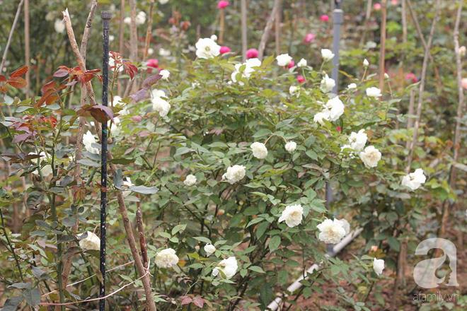 Ngắm khu vườn hoa hồng đẹp ngất ngây đã giúp cô gái thoát khỏi bệnh trầm cảm ở Hà Nội-17