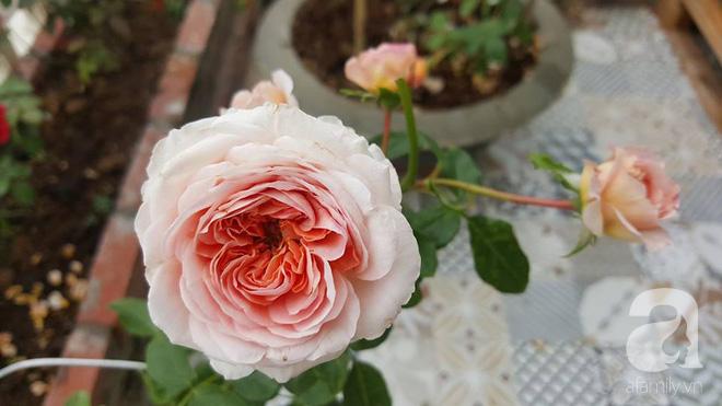 Ngắm khu vườn hoa hồng đẹp ngất ngây đã giúp cô gái thoát khỏi bệnh trầm cảm ở Hà Nội-18