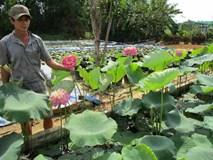 Làm hồ trên cạn trồng hoa súng, hoa sen, bỏ túi 20 triệu/tháng