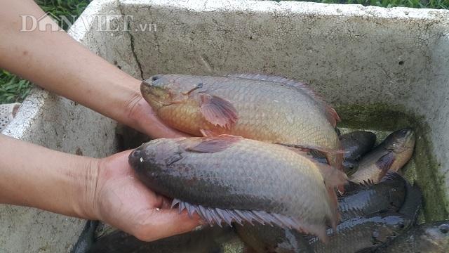 Làm giàu ở nông thôn: Nuôi đàn cá rô khổng lồ, lãi 400 triệu/năm-2