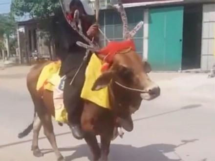 Quảng Trị: Thanh niên độ bò thành tuần lộc rồi ung dung dạo phố