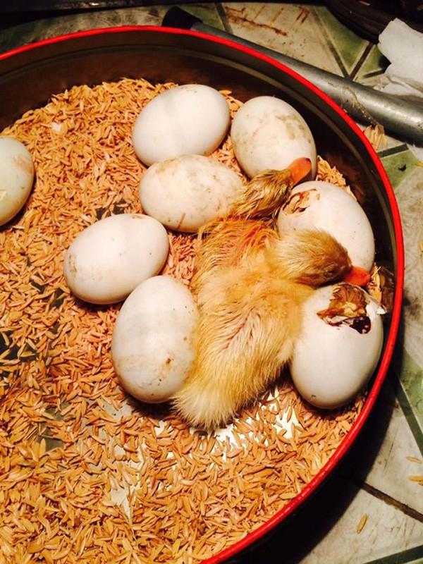 Mua trứng vịt lộn về ăn trong ngày nóng khủng khiếp, cô gái bất đắc dĩ trở thành vịt mẹ-3