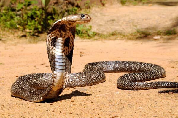 Người đàn ông đầu tiên bắt rắn độc nhả ra... vàng 9999 ở Việt Nam-6