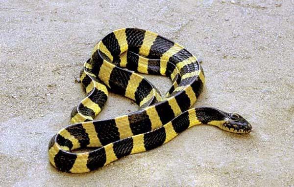 Người đàn ông đầu tiên bắt rắn độc nhả ra... vàng 9999 ở Việt Nam-7