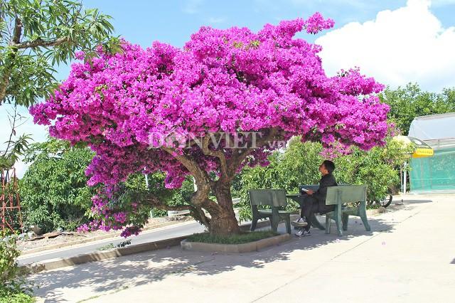 Người Đà Lạt và du khách sốt rần rần với cây hoa giấy khổng lồ siêu đẹp-1