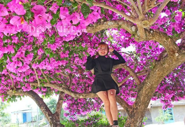Người Đà Lạt và du khách sốt rần rần với cây hoa giấy khổng lồ siêu đẹp-7