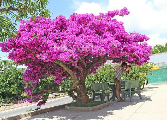 Người Đà Lạt và du khách sốt rần rần với cây hoa giấy khổng lồ siêu đẹp-4