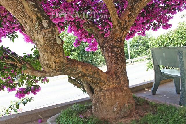 Người Đà Lạt và du khách sốt rần rần với cây hoa giấy khổng lồ siêu đẹp-3