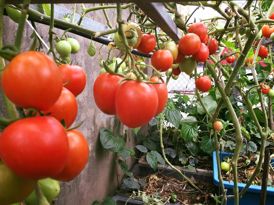 Ngưỡng mộ bà mẹ Hà thành trồng rau, nuôi chim gà trên sân thượng-6