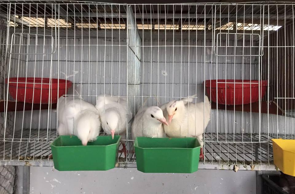Ngưỡng mộ bà mẹ Hà thành trồng rau, nuôi chim gà trên sân thượng-8