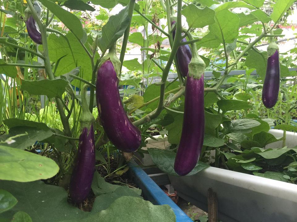 Ngưỡng mộ bà mẹ Hà thành trồng rau, nuôi chim gà trên sân thượng-3