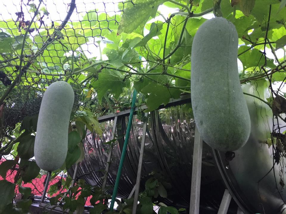 Ngưỡng mộ bà mẹ Hà thành trồng rau, nuôi chim gà trên sân thượng-2