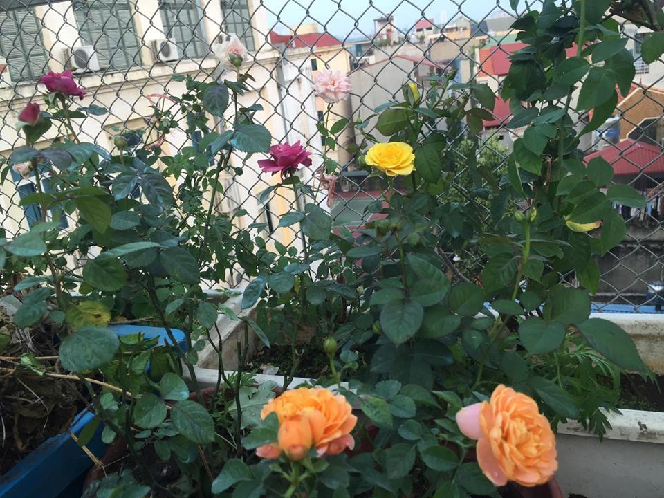 Ngưỡng mộ bà mẹ Hà thành trồng rau, nuôi chim gà trên sân thượng-12
