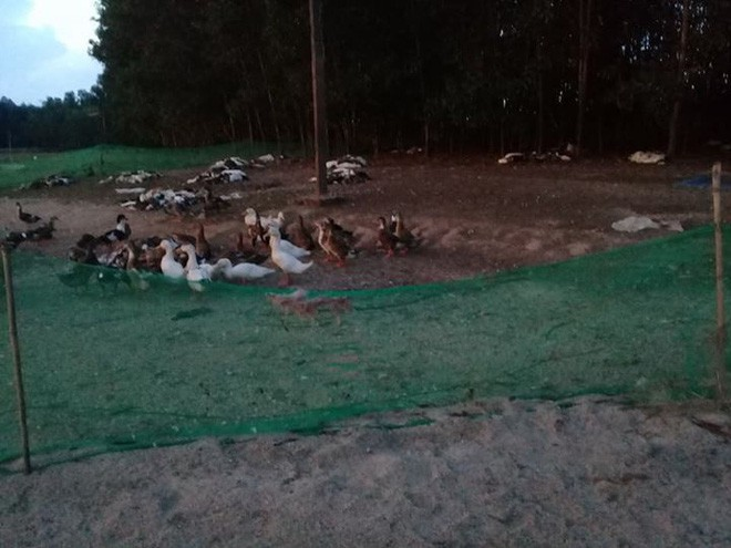 Đàn vịt hơn 1.500 con chết hàng loạt nghi bị kẻ xấu đầu độc-2
