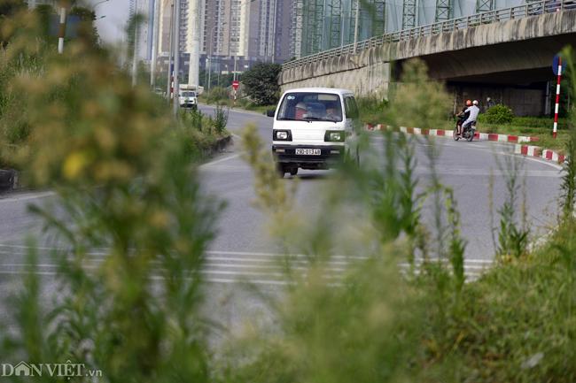 Ảnh: Cỏ mọc um tùm biến ngã tư ở Hà Nội thành vườn hoang-10