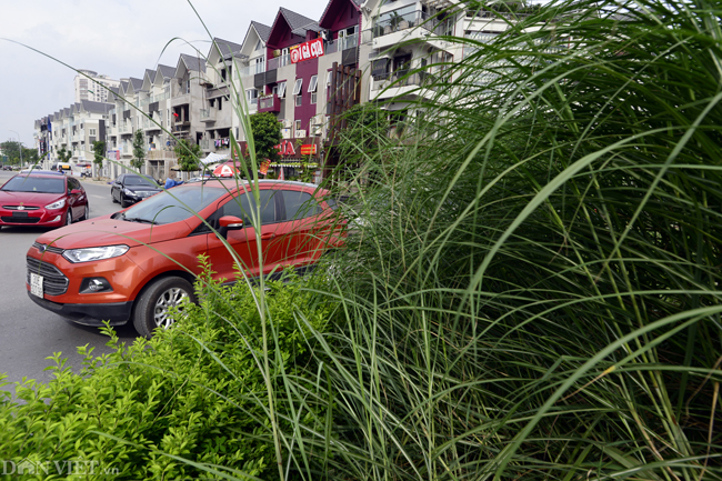 Ảnh: Cỏ mọc um tùm biến ngã tư ở Hà Nội thành vườn hoang-2