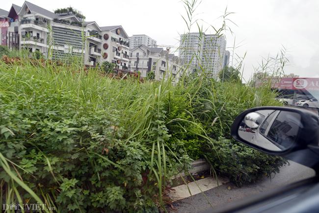 Ảnh: Cỏ mọc um tùm biến ngã tư ở Hà Nội thành vườn hoang-4