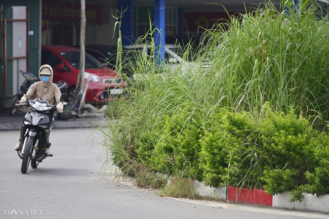 Ảnh: Cỏ mọc um tùm biến ngã tư ở Hà Nội thành vườn hoang-5