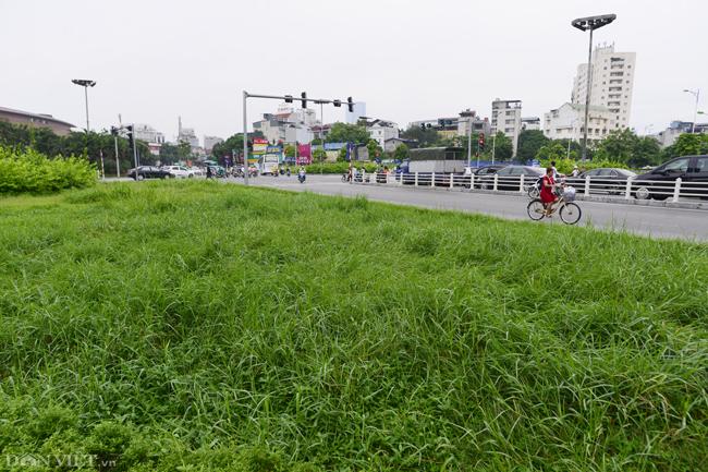 Ảnh: Cỏ mọc um tùm biến ngã tư ở Hà Nội thành vườn hoang-6