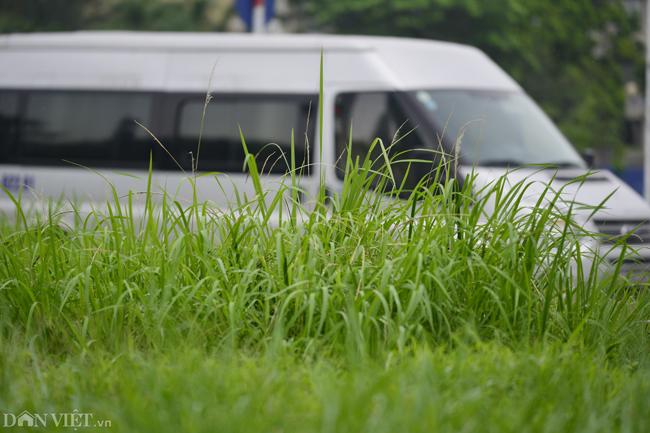 Ảnh: Cỏ mọc um tùm biến ngã tư ở Hà Nội thành vườn hoang-7