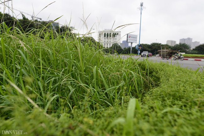Ảnh: Cỏ mọc um tùm biến ngã tư ở Hà Nội thành vườn hoang-8