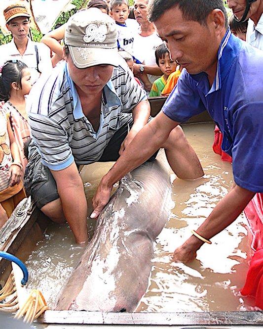 Thủy quái Vàm Nao và giai thoại loài cá giá bán chục cây vàng-2