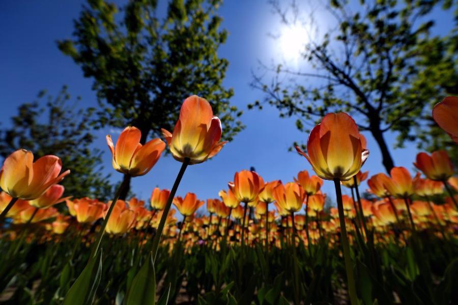 Không cần tới Hà Lan, ngay láng giềng Việt Nam cũng có thiên đường hoa tulip đẹp chất ngất!-1