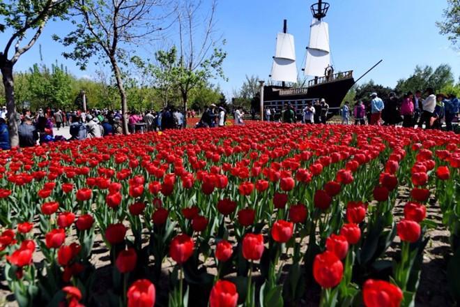 Không cần tới Hà Lan, ngay láng giềng Việt Nam cũng có thiên đường hoa tulip đẹp chất ngất!-2