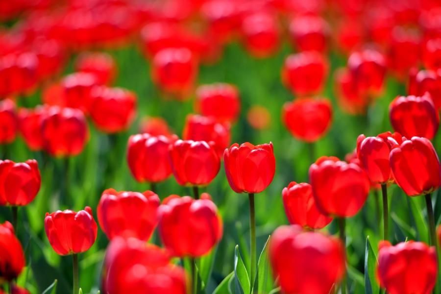 Không cần tới Hà Lan, ngay láng giềng Việt Nam cũng có thiên đường hoa tulip đẹp chất ngất!-5