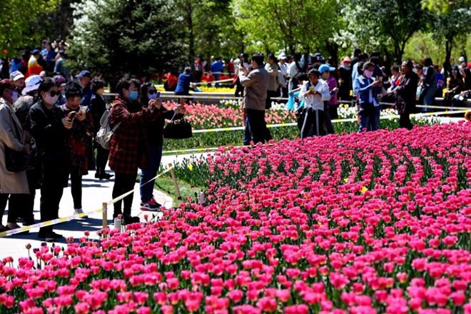 Không cần tới Hà Lan, ngay láng giềng Việt Nam cũng có thiên đường hoa tulip đẹp chất ngất!-3
