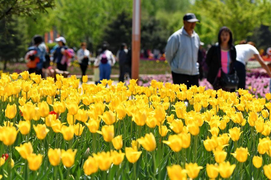 Không cần tới Hà Lan, ngay láng giềng Việt Nam cũng có thiên đường hoa tulip đẹp chất ngất!-7