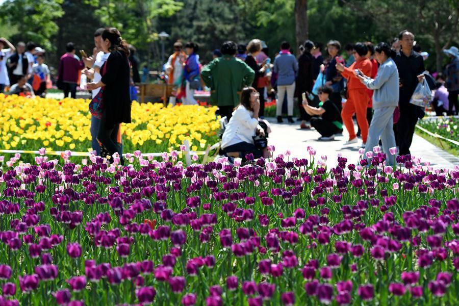 Không cần tới Hà Lan, ngay láng giềng Việt Nam cũng có thiên đường hoa tulip đẹp chất ngất!-6