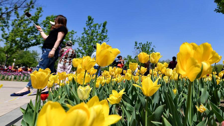 Không cần tới Hà Lan, ngay láng giềng Việt Nam cũng có thiên đường hoa tulip đẹp chất ngất!-9
