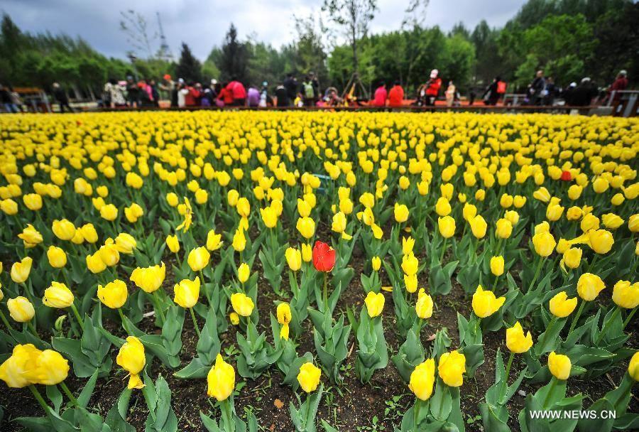 Không cần tới Hà Lan, ngay láng giềng Việt Nam cũng có thiên đường hoa tulip đẹp chất ngất!-13