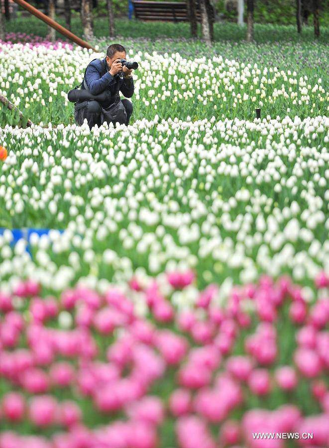 Không cần tới Hà Lan, ngay láng giềng Việt Nam cũng có thiên đường hoa tulip đẹp chất ngất!-20