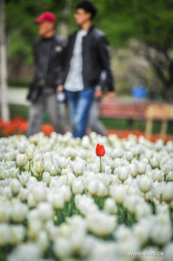 Không cần tới Hà Lan, ngay láng giềng Việt Nam cũng có thiên đường hoa tulip đẹp chất ngất!-19
