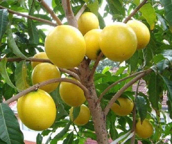 Phát sốt với giống vú sữa lạ: Trái chín vàng bóng, ra quả quanh năm-8
