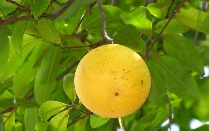 Phát sốt với giống vú sữa lạ: Trái chín vàng bóng, ra quả quanh năm-9