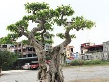 Sửng sốt trước vẻ đẹp hiếm có của cây sanh