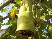 Dân mạng cười lăn với ông bố trồng bầu, cắt nửa quả về ăn còn nửa quả để lại trên cây nuôi tiếp